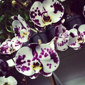 Reger Orchids 1